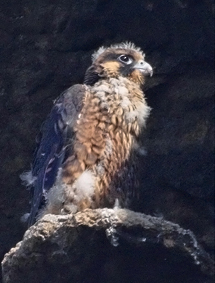 Peregrine Falcon Chick, Morro Rock, 2006, By Cleve Nash