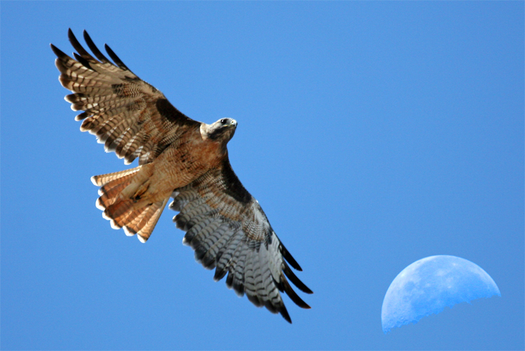 Red-tailed Hawk and the Moon over Estero Bay -