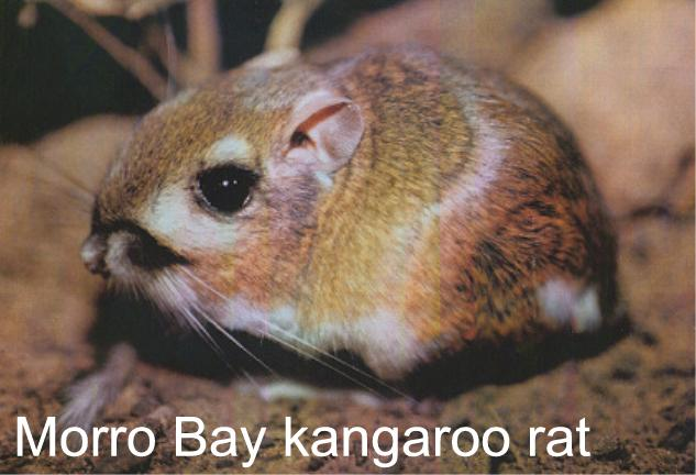 ap biology essay kangaroo rats Ap biology chapter 44 1 chapter ingested in food (02) ingested in liquid (1,500) water balance in a kangaroo rat (2 ml/day) ap biology chapter 42.