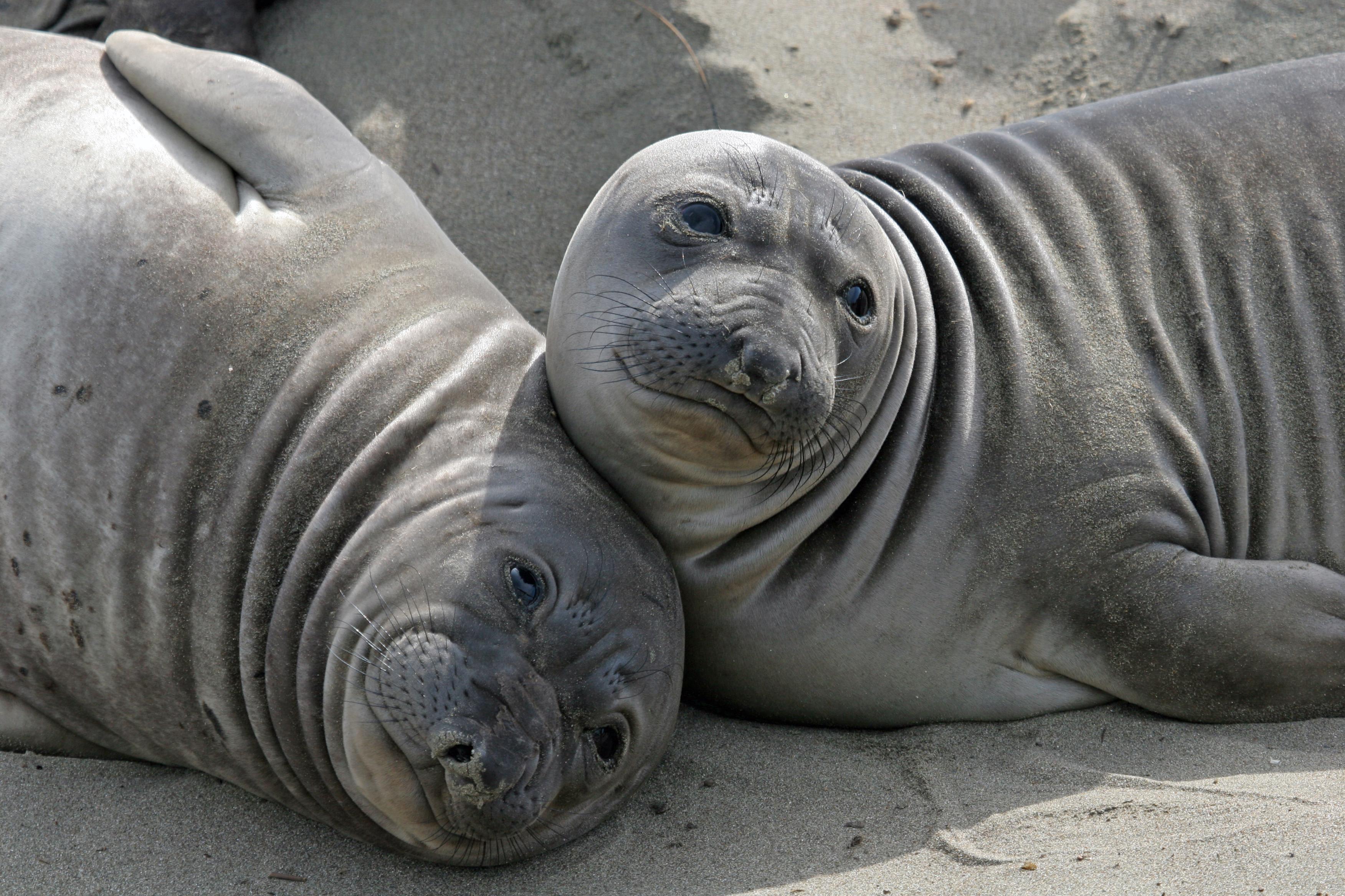 elephant seals at piedras blancas near san simeon california feb